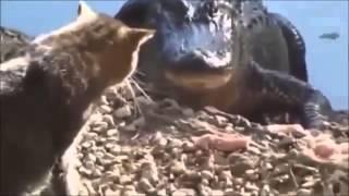 БОЙНЯ АЛЛИГАТОРА С КОШКОЙ / ALLIGATOR SLAUGHTER WITH THE CAT