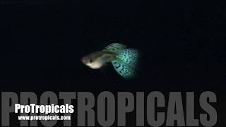 Guppies for sale videos / Page 3 / InfiniTube