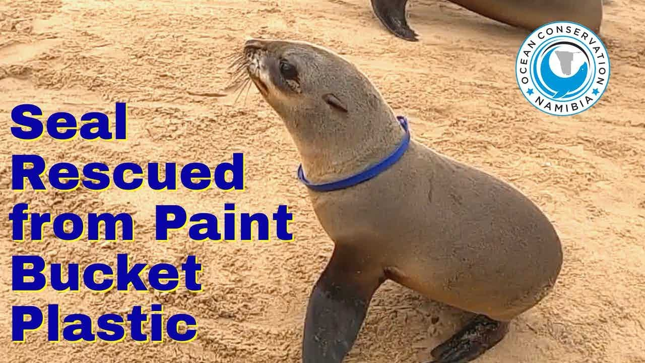 Seal Rescued from Paint Bucket Plastic