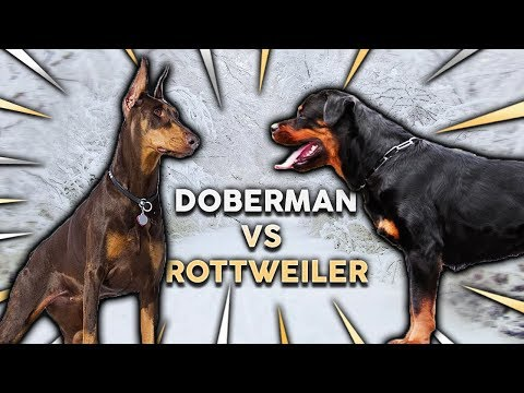 DOBERMAN vs ROTTWEILER! What's The Best Family Guard Dog?
