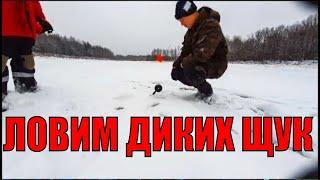 ЛОВИМ ДИКИХ ЩУК НА ЖИВЦА ТЫСЯЧИ ЖЕРЛИЦ НА ОЗЕРЕ Лед 2020 2021 Зимняя рыбалка