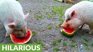 Rescued pigs are ecstatic when treated to watermelon