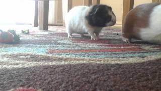 baby guinea pig going crazy too cute