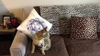 Savannah cats 101