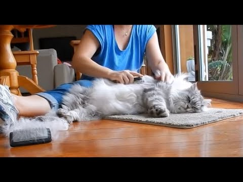 Brushing Maine Coon (Sasha) -new brush!!!