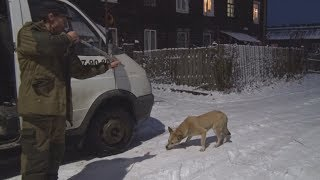 ТВЭл - Отлов бродячих собак ногинским приютом для животных (21.12.17)