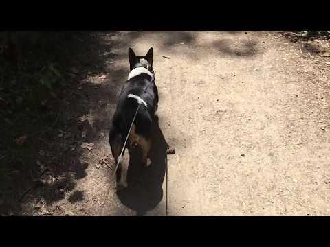 Miniature Bullterrier marschiert durch den Wanderweg