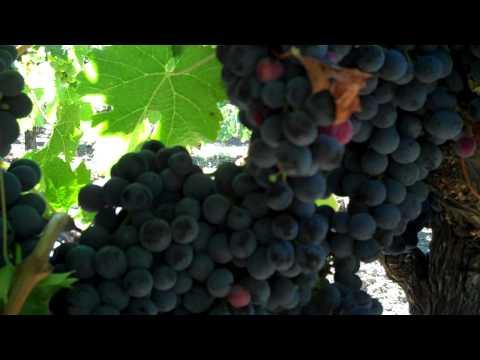 Dry Creek Valley Cabernet Franc:  A walk through the vineyard.