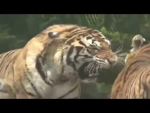 Tigre vs Leon Quien Gana ¿? - YouTube