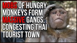 Monkey GANGS Form MOBS In Thai Town As Tourists Avoid Travel And Food Becomes Scarce