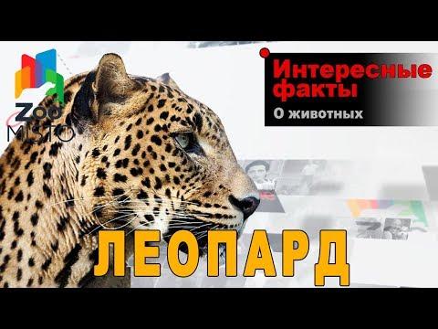 Леопард - Интересные факты о виде | Вид  млекопитающих леопард