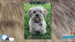 Lhasa Apso  Everything Dog Breeds
