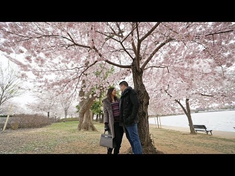 Cherry Blossoms Peak Bloom at Washington DC Tidal Basin April 2018