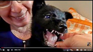 ОЧЕНЬ ЗЛОЙ ЩЕНОК Немецкой овчарки.A very angry German Shepherd puppy.Odessa.