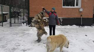 Общий курс дрессировки собак. Два алабая/The general course of dog training. Two alabay at once.