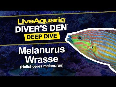 LiveAquaria® Diver's Den® Deep Dive: Melanurus Wrasse (Halichoeres Melanurus)