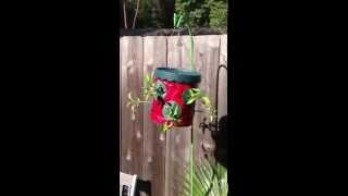 Topsy Turvy Hanging Strawberry Pepper Plants