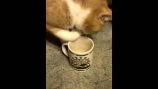 Кошка пьет, доставая воду лапой