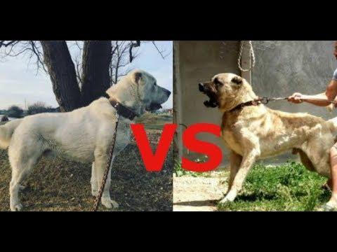 Алабай против Кангал , какая собака круче ????