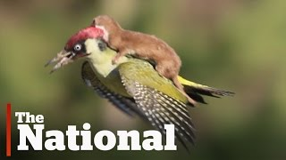 Weasel hitches a ride on a woodpecker
