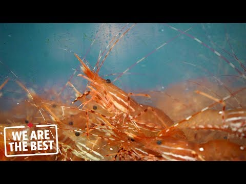 B.C. spot prawns: A sustainable delight all Canadians should taste | We Are The Best