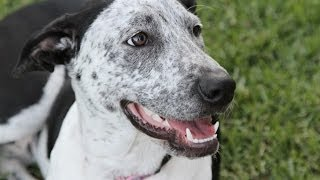 Milo, Great Dane X Cattle Dog Has Been Adopted From Dog Rescue Newcastle