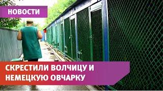 UTV. В Уфе скрестили волчицу и немецкую овчарку