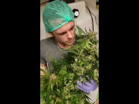 Hicksford Farms Oklahoma - Record Breaking Yields at a Commercial Cannabis Grow Facility