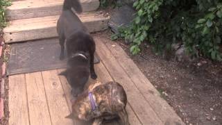 """This is a video of Kai Ken (甲斐犬) """"Ayu"""" and """"Kibou"""" after mating...."""