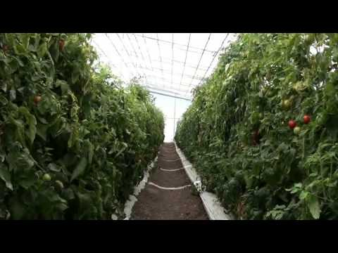 Comparing indeterminate and semi determinate tomatoes in a retractable roof production system