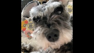 Dog funny reaction to gasp at your dog challenge mini schnauzer