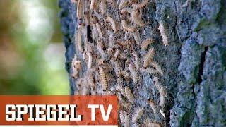 Gefährliche Eichenprozessionsspinner  Spiegel Tv