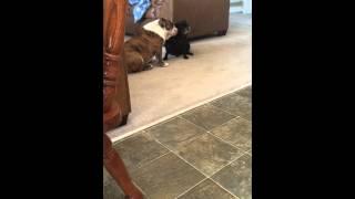 English Bulldog Daphne, Grooming Pug Lucy Lou