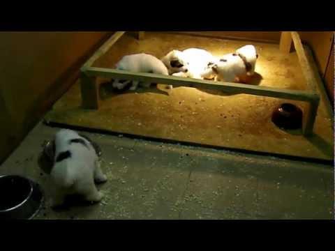 PYRENEAN MOUNTAIN DOGS' PUPPIES - LA BORDA D'URTX
