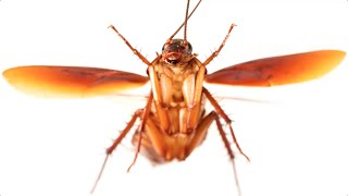 Can cockroaches fly?