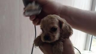 #кокеры 37. Стрижка месячного щенка.