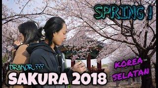 Musim Semi Di Korea 2018 Quot Bunga Sakura Quot