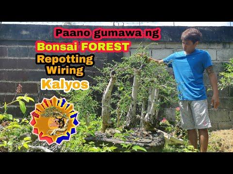 How To Make Bonsai Forest - Repotting - Progression - Kalyos - Bonsai Philippines