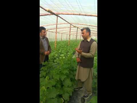 Tunnel Vegetable Farming 03218669044 in Kehror Lalessan, Layyah, Pakistan. Mian Athar Maqbool