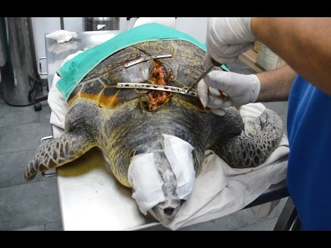 Sea Turtle Survives Boat Propeller To The Face: WILDEST ANIMAL RESCUES