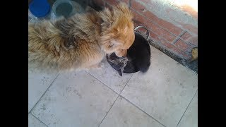 Собака и кошка живут и дружат даже няньчет котят=)