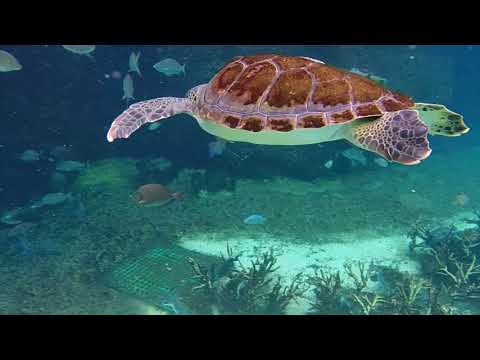 Swimming with turtles at the turtle farm at cayman island nov 11 2107
