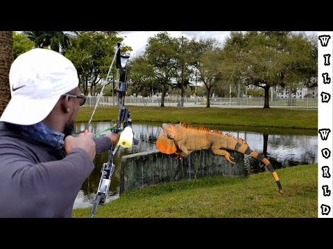 defending-south-florida-against-iguanas-with-hi-tech-bow