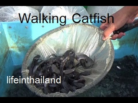 Starting a walking catfish farm at home buying the baby for Fish farming at home