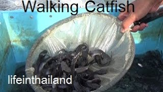 Starting a walking catfish farm at home, Buying the baby fish off the back of a truck