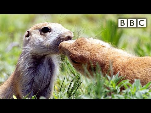 Prairie dogs kiss - Spy in the Wild: Episode 1 Preview - BBC One