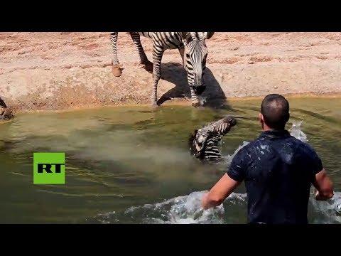Una cría de cebra se ahoga. ¿La salvarán?
