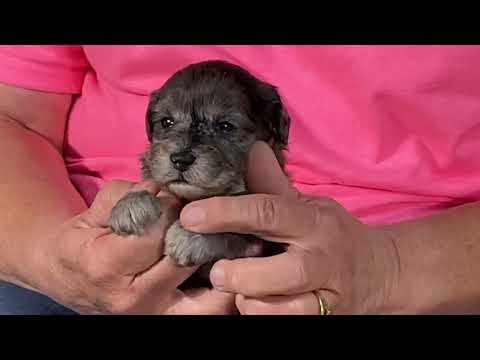 Diva's schnoodle puppies ALL ARE SOLD July 6, 2020