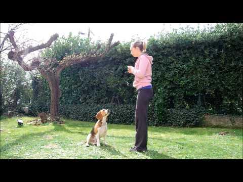 Beagle tricks  smart beagle doing plenty of dog tricks  clicker training