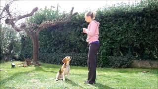 Beagle Tricks - Smart Beagle Doing Plenty Of Dog Tricks - Clicker Training